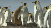 King Penguin colony,big brown chick pesters parent