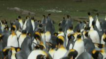 King Penguin colony,males display