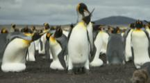 King Penguin Colony,Male attempting to mate