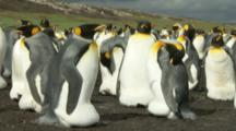 King Penguins sitting on eggs