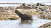 Male Southern Sea Lion On Beach