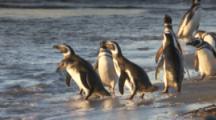 Magellanic Penguins enter ocean