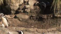 Magellanic Penguins on rocky ledge