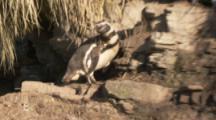 Magellanic Penguin on rocky ledge