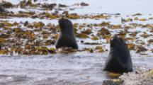 Southern Sea Lions in shallow kelp bed