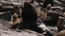 Southern Sea Lions,big male among harem of females