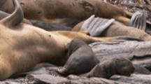 Southern Sea Lions,pup nurses while another sleeps nearby