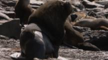 Southern Sea Lions,big male possibly mating