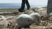 Man Collects Eggs From Gentoo Penguin Colony