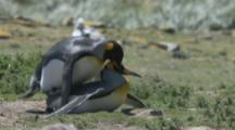 King Penguins mating,clumsy courtship display