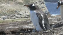 Gentoo Penguin with egg on feet