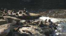 South American Fur Seals On Rugged Coastal Rocks