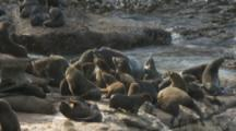 South American Fur Seals,Including Large Male,On Rugged Coastal Rocks