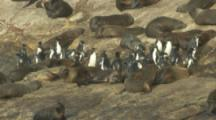 Rockhopper Penguins Make Their Way Through Fur Seal Colony