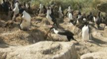 Imperial Shags Build Nest In Nesting Colony