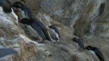Rockhopper Penguins climb up rocky ledge