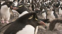 Rockhopper Penguin Colony,Nesting,several adults peck walking chick