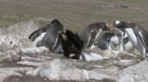 Striated Caracaras Feed On Gentoo Penguin Chick,adult chases it away