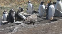 Brown Skua Among Gentoo Penguins To Steal Eggs