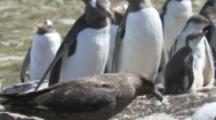 Brown Skua Lands At Gentoo Colony To Hunt Eggs