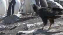 Striated Caracaras Feed On Gentoo Penguin Chick