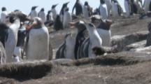 Striated Caracaras Feed On Gentoo Penguin Chick,penguins try to defend it