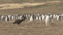 Striated Caracara Kicks Penguin Egg With Talons,Surrounded By Penguins