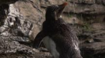 Rockhopper Penguin bathes in cliff shower