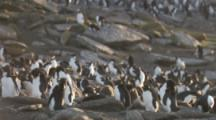 Rockhopper Penguin colony,tilt to reveal Striated Caracara Feeding On Penguin Carcass