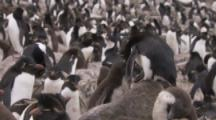 Rockhopper Penguin feds chick in large colony