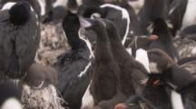 Imperial Shags In Nesting Colony,chicks beg for food