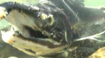 Chum Salmon Underwater,skin falling off,sloughing