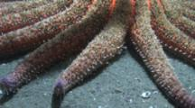 Close Up Arms Of Sunflower Seastar Moving Very Slowly On Sand
