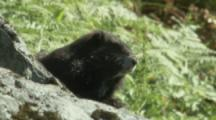 Vancouver Island Marmot On Rocky Outcrop In Meadow