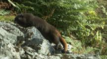Vancouver Island Marmot Climbs On Rocky Outcrop In Meadow