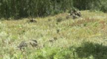 Vancouver Island Marmots On Distant Rocky Outcrop In Meadow