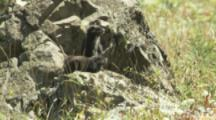 Alert Vancouver Island Marmots On Rocky Outcrop In Meadow