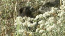 Vancouver Island Marmot Behind Wildflowers In Meadow