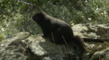 Vancouver Island Marmot On Rocky Outcrop In Meadow,Exits
