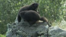 Vancouver Island Marmot On Rocky Outcrop In Meadow,Second Joins First