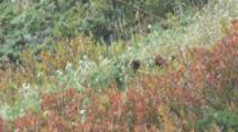 Vancouver Island Marmot Hidden In Colorful Meadow