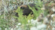 Vancouver Island Marmot On Rocky Outcrop Hidden In Meadow