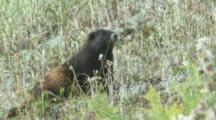 Vancouver Island Marmot feeds In Meadow