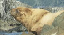 Sea Lion,Possibly Stellar,Hauled Out On Rocks,Big Male