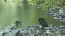 Black Bear Waits Patiently While Hunting On River In Rain