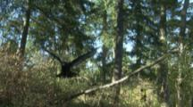 Turkey Vulture Takes Off from Branch,Flies In Forest Toward Camera