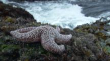 Intertidal Scenics, Vancouver Island, Sea Star On Rocks