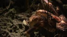Coconut Crab Crawls On Tree In Mangrove