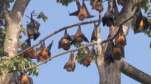 Pemba Flying Foxes Hang In Trees