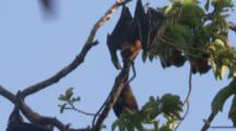 Pemba Flying Foxes In Trees